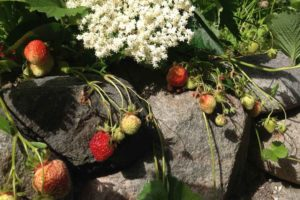 Friske jordbær i BB Albertine haven