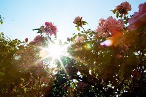Albertiner rosen er en drøm af en rose