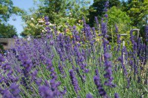 Smukke lavendler i haven hos BB Hotel Albertinebeautiful-lavender-in-the-garden