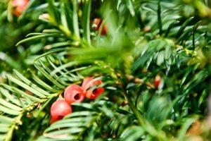 Taxus baccata – Taks træ i haven